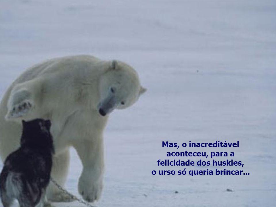 felicidade dos huskies, o urso só queria brincar...