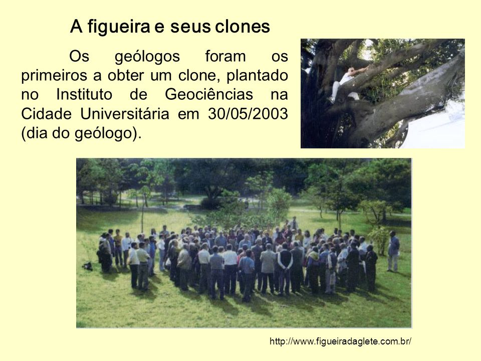 A figueira e seus clones