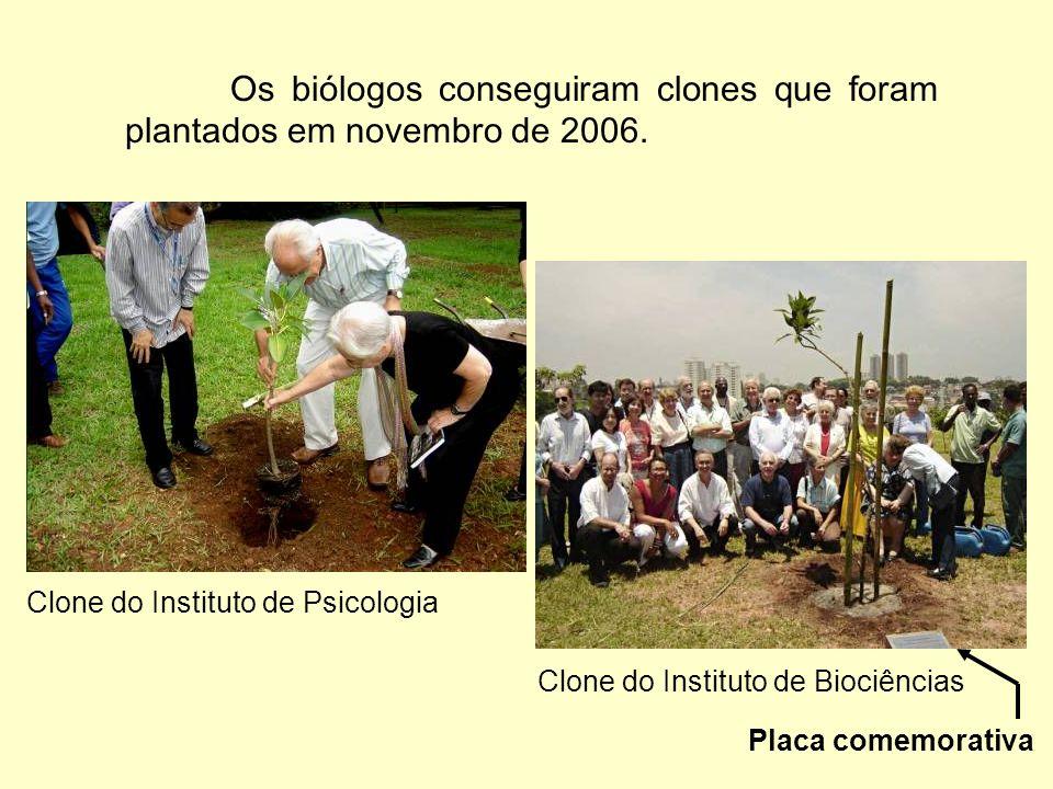 Os biólogos conseguiram clones que foram plantados em novembro de 2006.