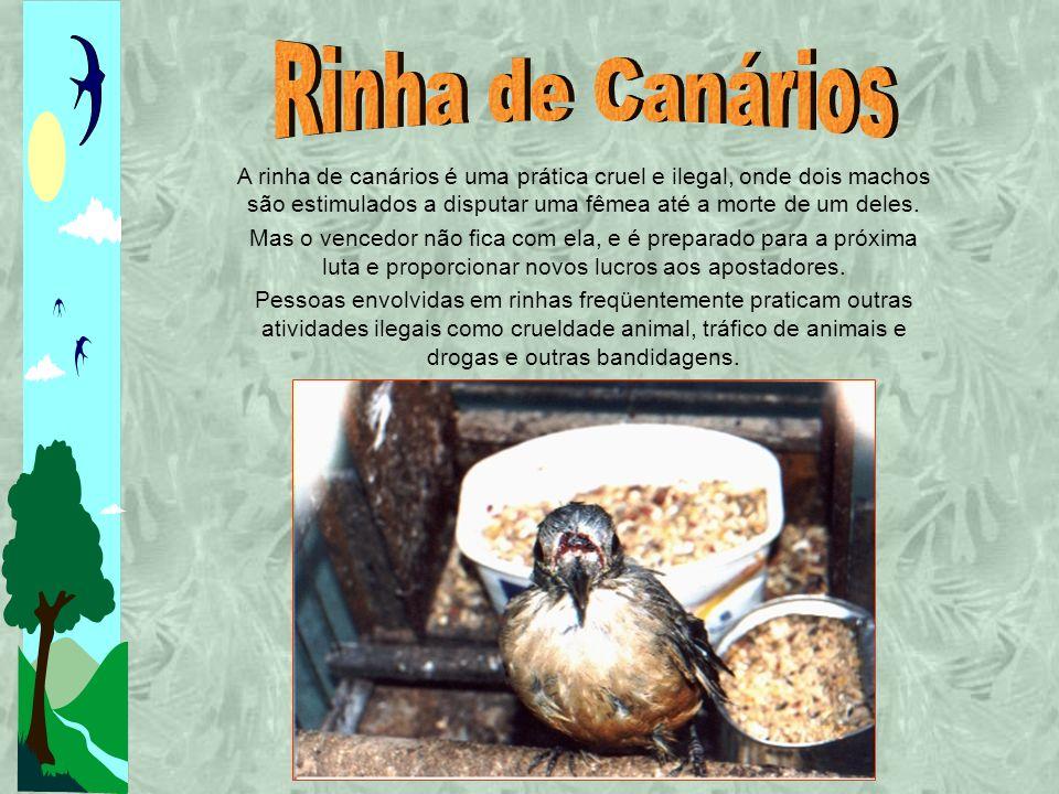 Rinha de Canários A rinha de canários é uma prática cruel e ilegal, onde dois machos são estimulados a disputar uma fêmea até a morte de um deles.