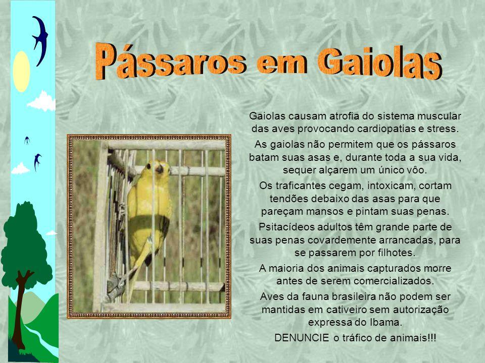Pássaros em Gaiolas Gaiolas causam atrofia do sistema muscular das aves provocando cardiopatias e stress.