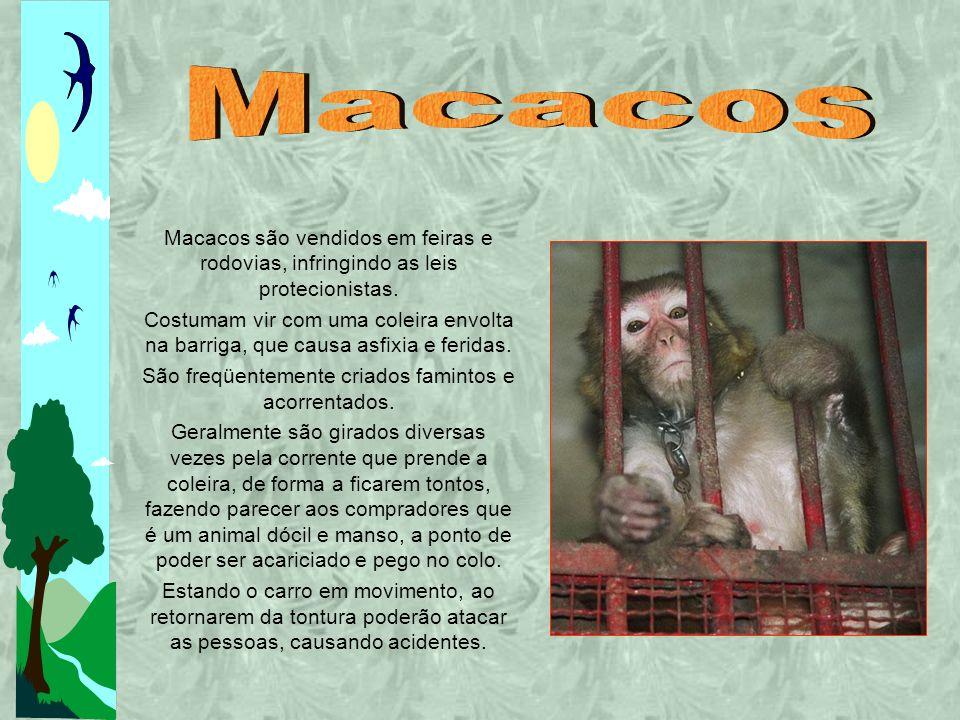 São freqüentemente criados famintos e acorrentados.