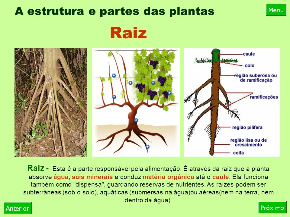 A estrutura e partes das plantas
