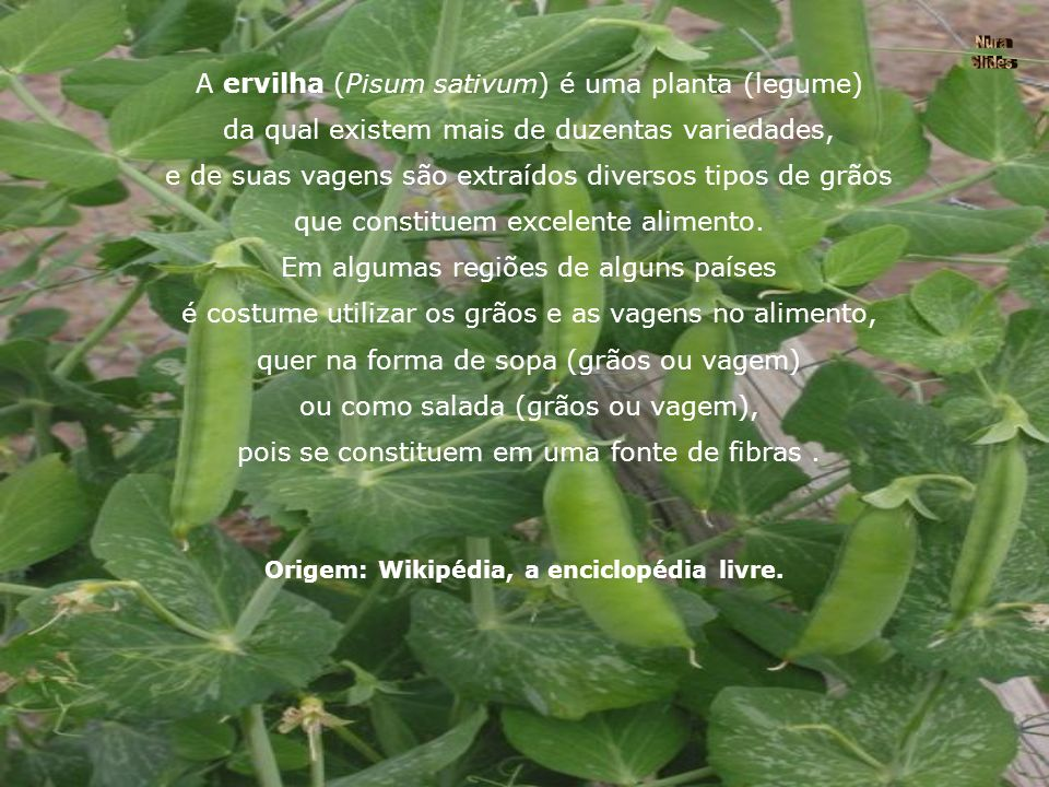 A ervilha (Pisum sativum) é uma planta (legume)