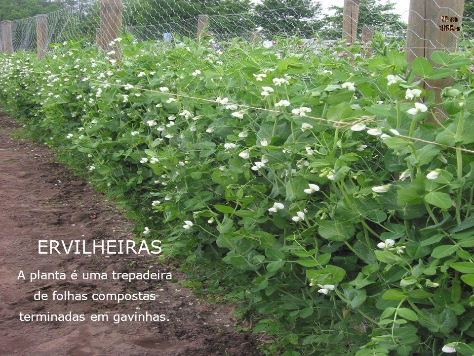 ERVILHEIRAS A planta é uma trepadeira de folhas compostas