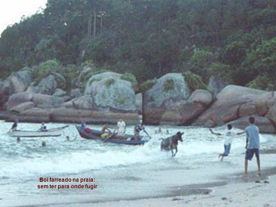 Boi farreado na praia: sem ter para onde fugir