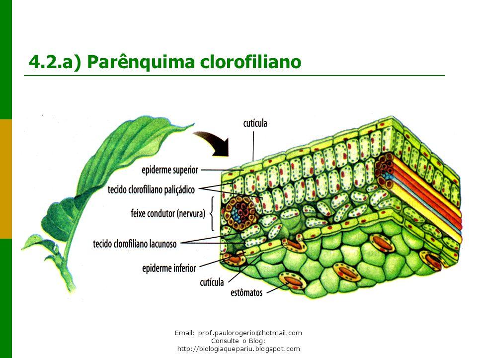 4.2.a) Parênquima clorofiliano