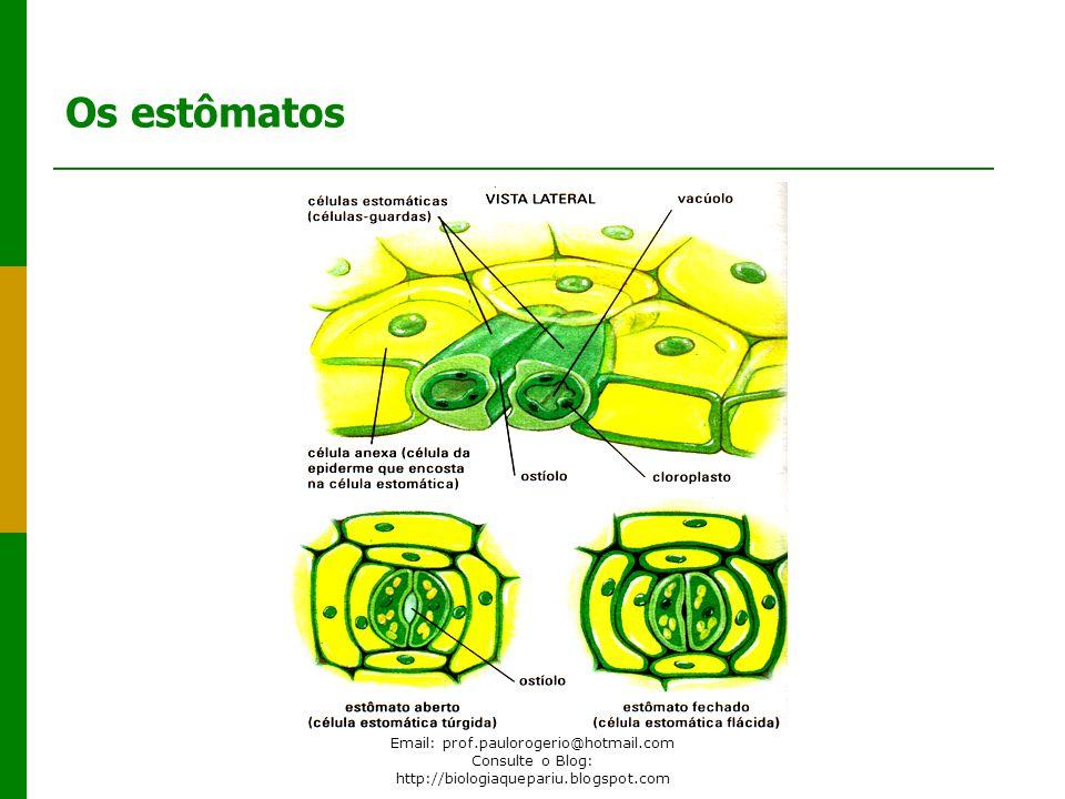 Os estômatos Email: prof.paulorogerio@hotmail.com Consulte o Blog: http://biologiaquepariu.blogspot.com.