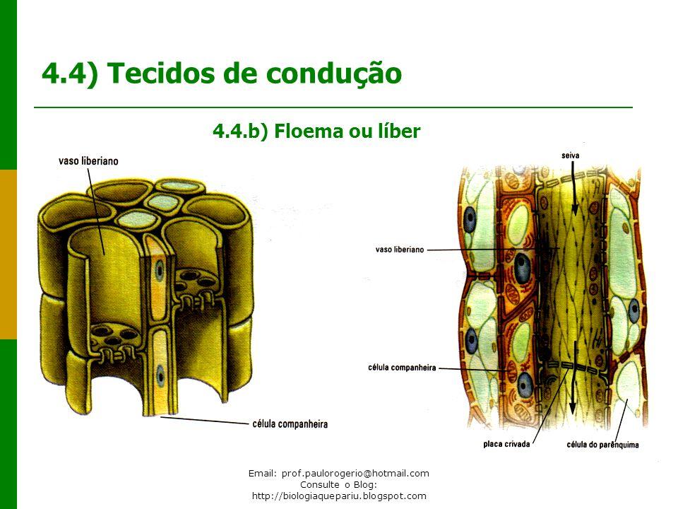 4.4) Tecidos de condução 4.4.b) Floema ou líber