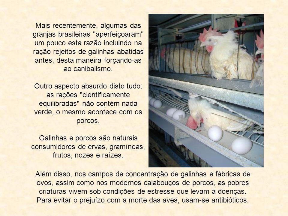 Mais recentemente, algumas das granjas brasileiras aperfeiçoaram um pouco esta razão incluindo na ração rejeitos de galinhas abatidas antes, desta maneira forçando-as ao canibalismo.