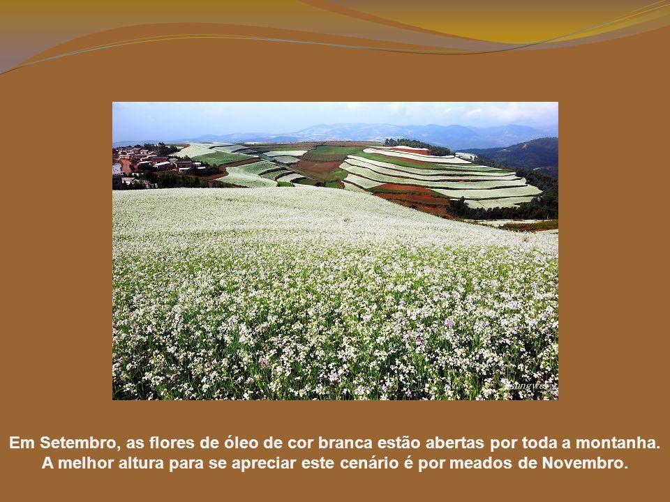 Em Setembro, as flores de óleo de cor branca estão abertas por toda a montanha.