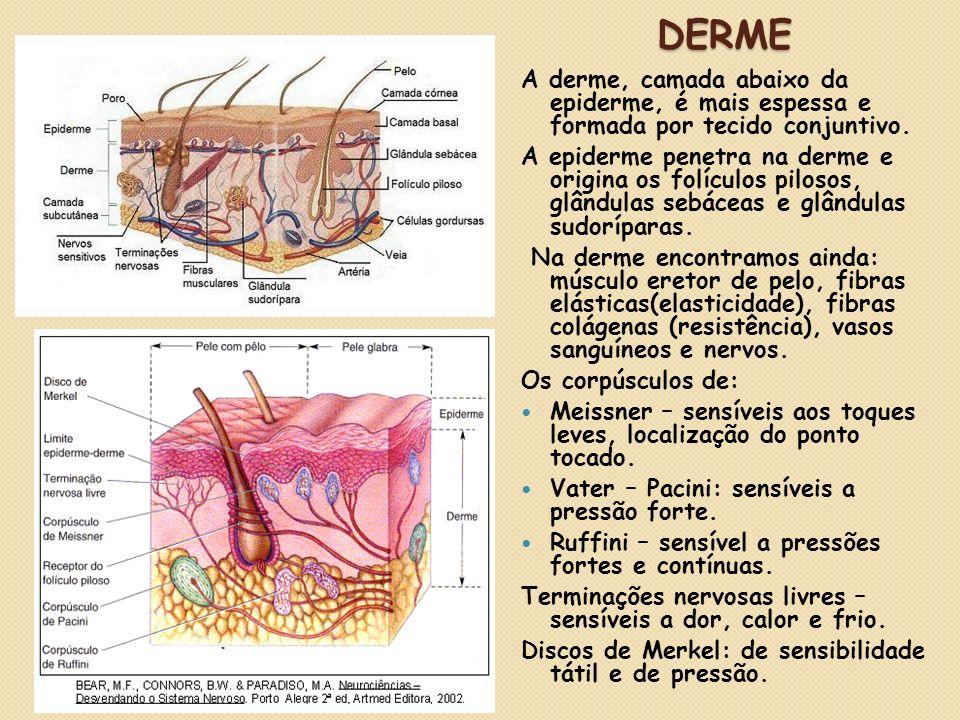 Derme A derme, camada abaixo da epiderme, é mais espessa e formada por tecido conjuntivo.