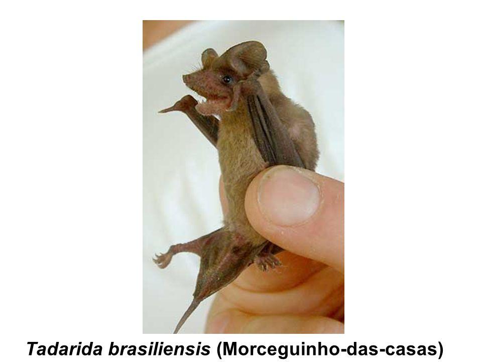 Tadarida brasiliensis (Morceguinho-das-casas)