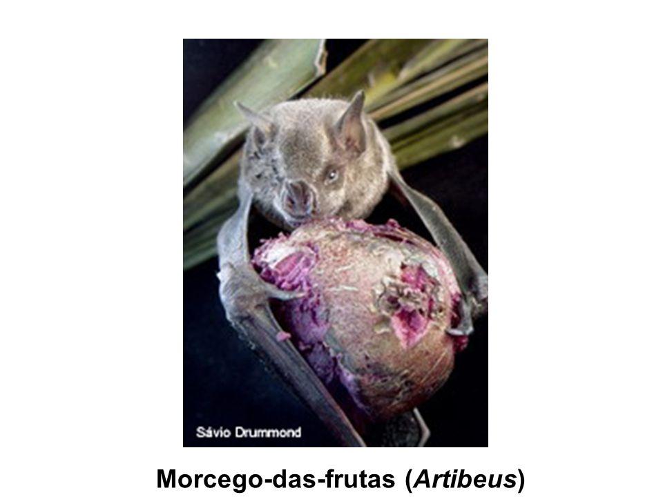 Morcego-das-frutas (Artibeus)