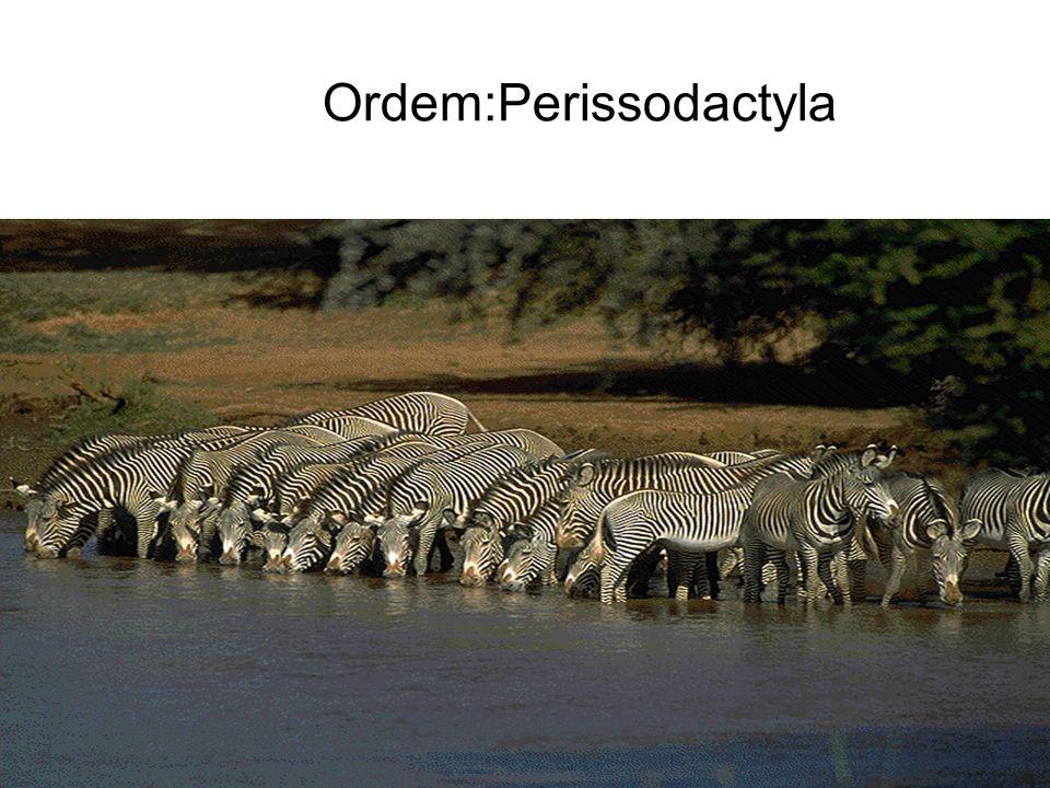 Ordem:Perissodactyla