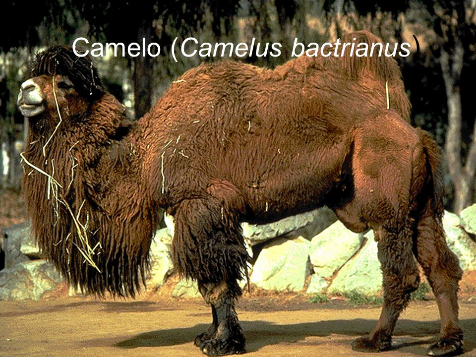Camelo (Camelus bactrianus)