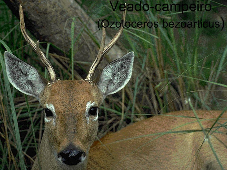 Veado-campeiro (Ozotoceros bezoarticus)
