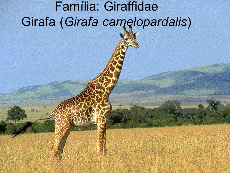 Família: Giraffidae Girafa (Girafa camelopardalis)