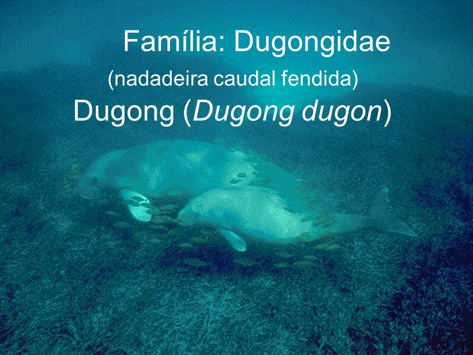 Família: Dugongidae (nadadeira caudal fendida) Dugong (Dugong dugon)