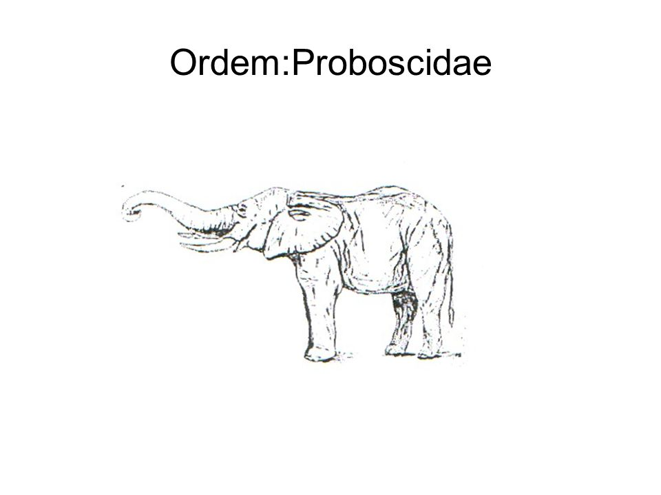 Ordem:Proboscidae