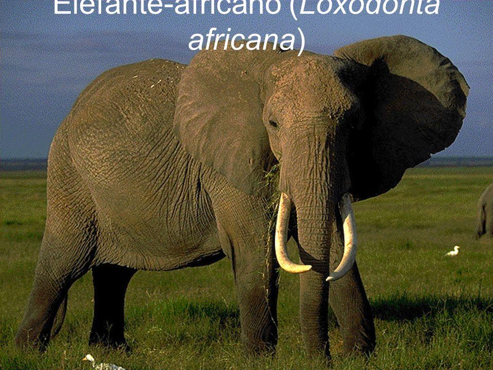 Elefante-africano (Loxodonta africana)