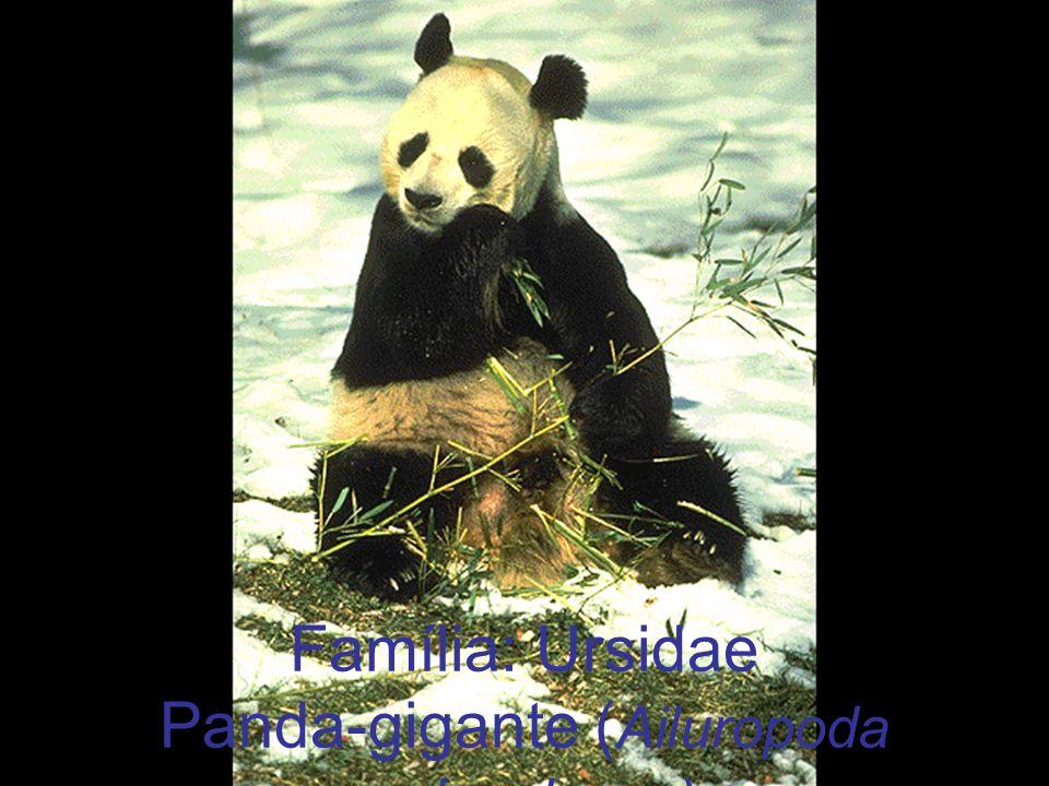Família: Ursidae Panda-gigante (Ailuropoda melanoleuca)