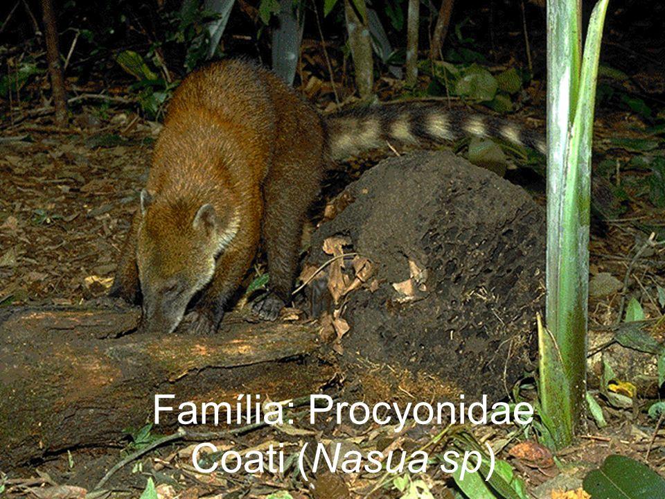 Família: Procyonidae Coati (Nasua sp)