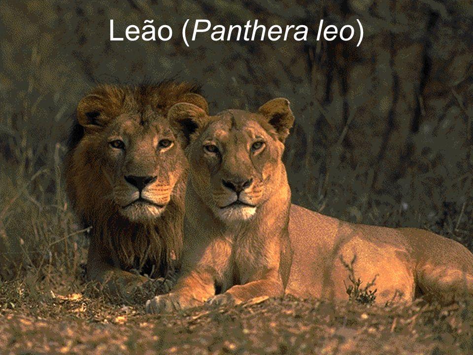 Leão (Panthera leo)