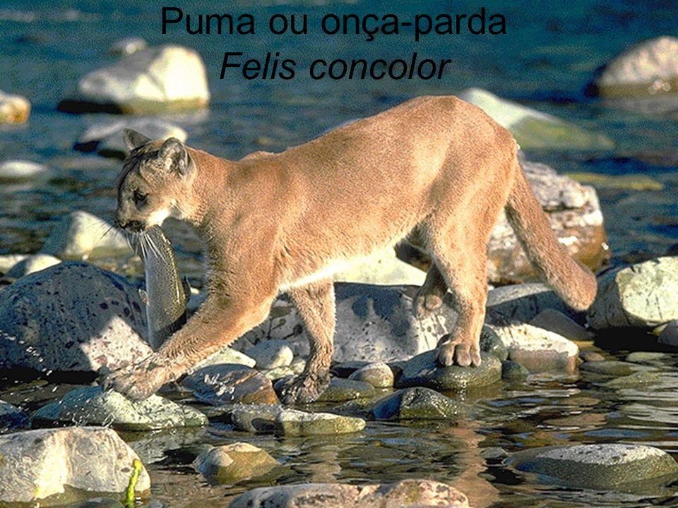 Puma ou onça-parda Felis concolor