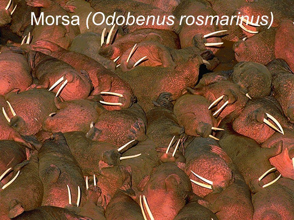 Morsa (Odobenus rosmarinus)