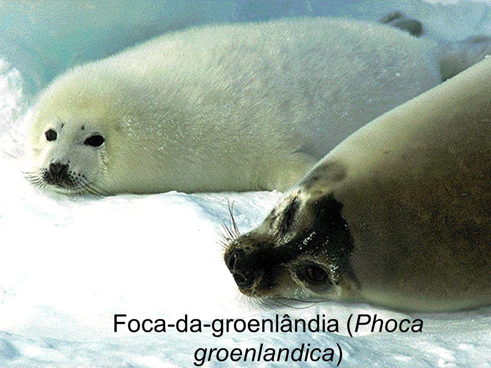 Foca-da-groenlândia (Phoca groenlandica)