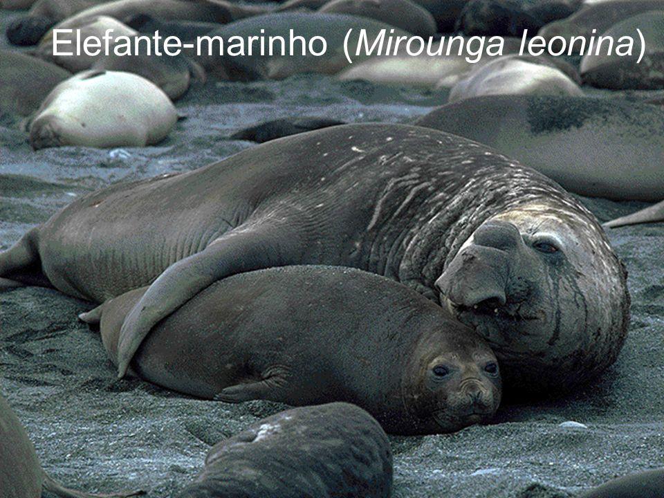 Elefante-marinho (Mirounga leonina)
