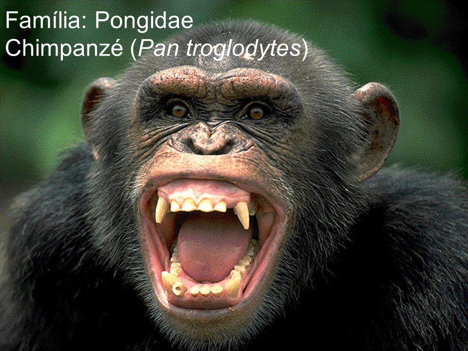 Família: Pongidae Chimpanzé (Pan troglodytes)