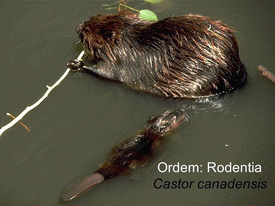 Ordem: Rodentia Castor canadensis