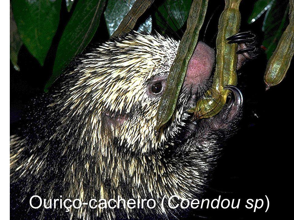 Ouriço-cacheiro (Coendou sp)