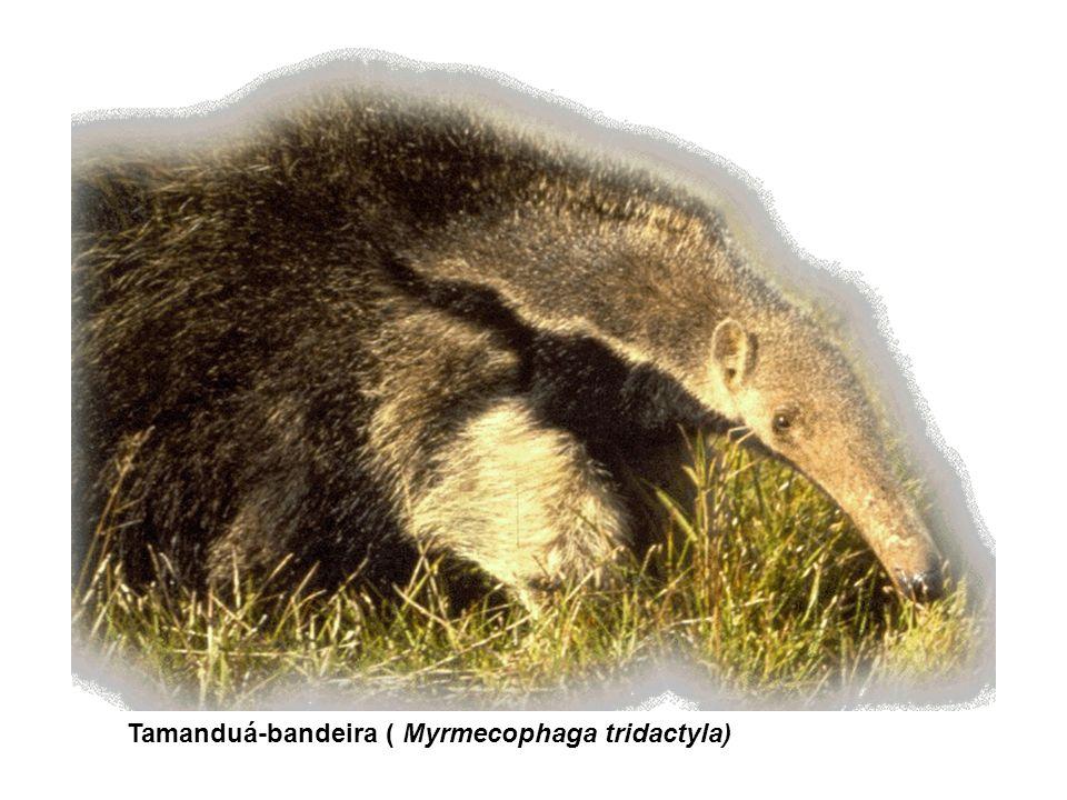 Tamanduá-bandeira ( Myrmecophaga tridactyla)