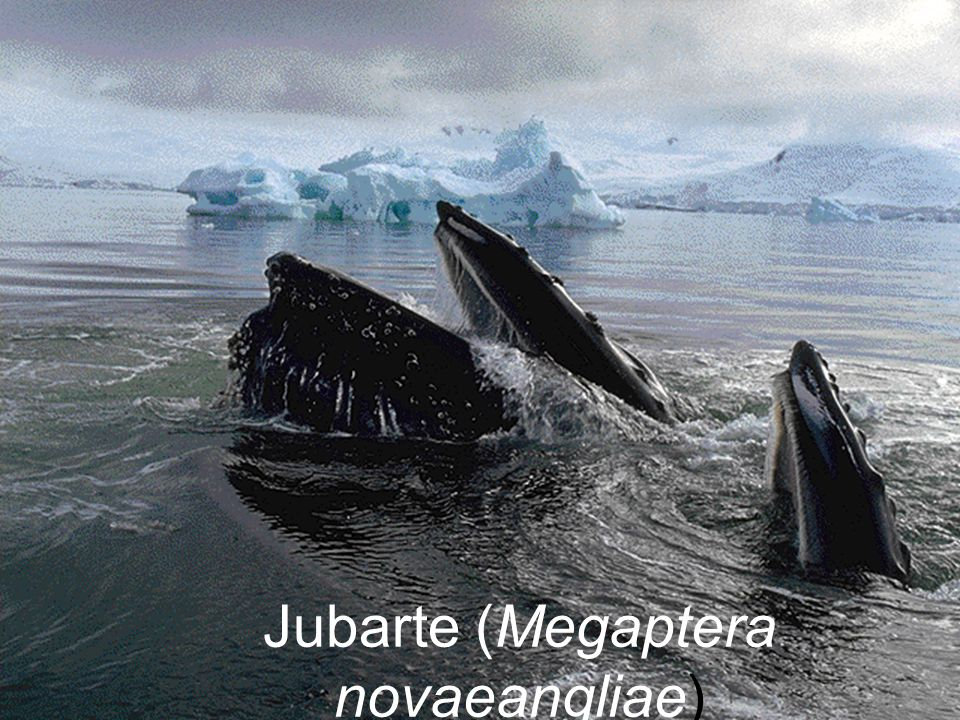 Jubarte (Megaptera novaeangliae)