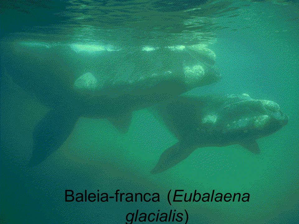 Baleia-franca (Eubalaena glacialis)
