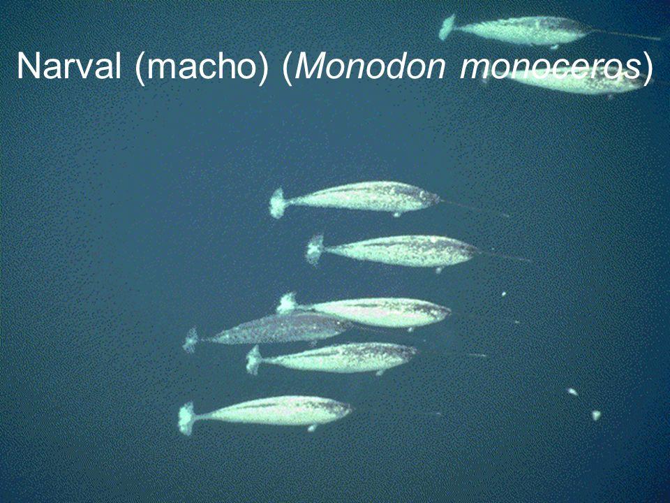 Narval (macho) (Monodon monoceros)
