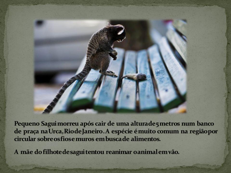 Pequeno Sagui morreu após cair de uma altura de 5 metros num banco de praça na Urca, Rio de Janeiro .
