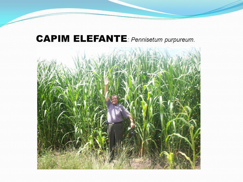 CAPIM ELEFANTE: Pennisetum purpureum.