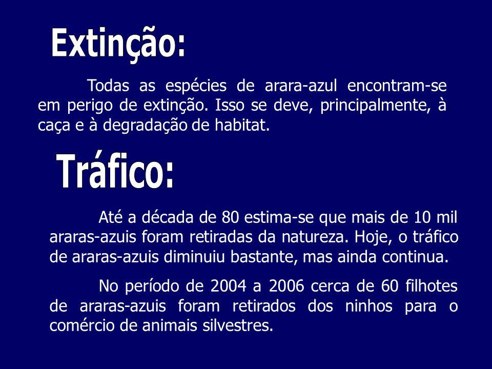 Extinção: Todas as espécies de arara-azul encontram-se em perigo de extinção. Isso se deve, principalmente, à caça e à degradação de habitat.