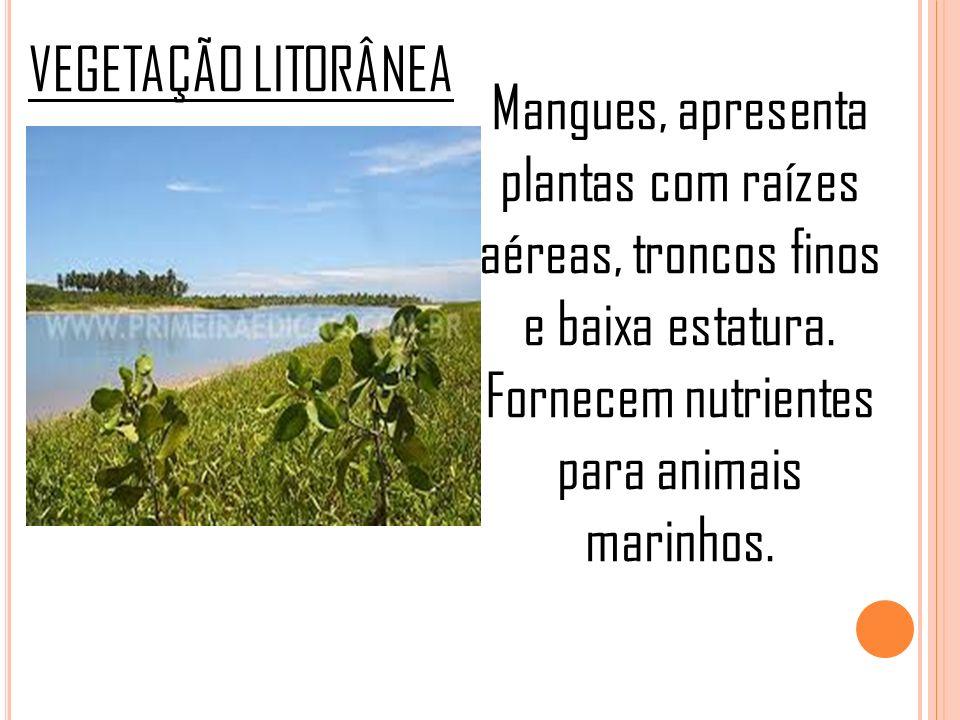 VEGETAÇÃO LITORÂNEA Mangues, apresenta plantas com raízes aéreas, troncos finos e baixa estatura.