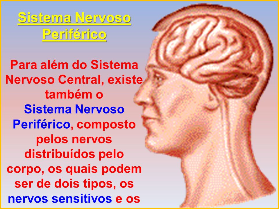 Sistema Nervoso Periférico Para além do Sistema Nervoso Central, existe também o