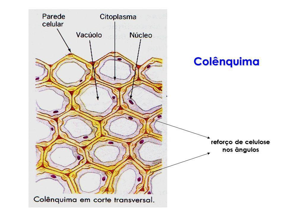 Colênquima reforço de celulose nos ângulos