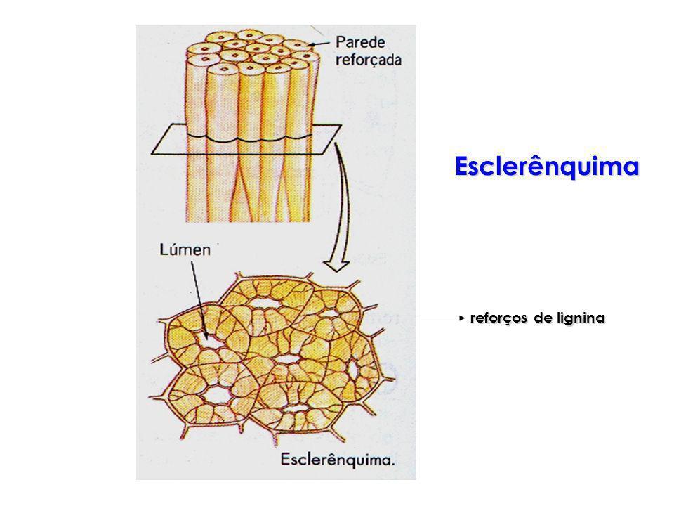 Esclerênquima reforços de lignina