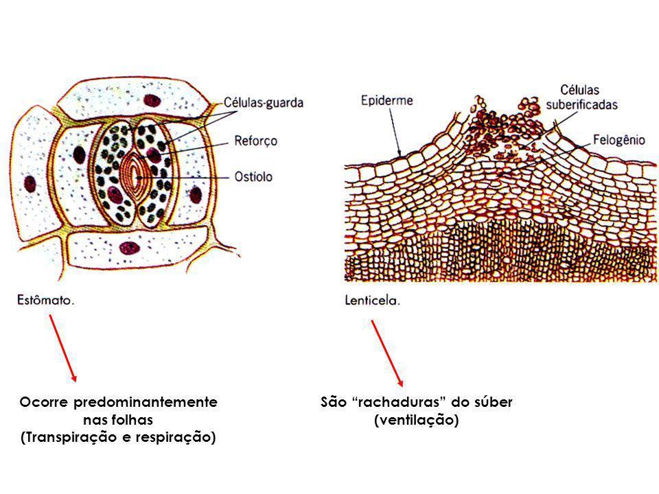 Ocorre predominantemente nas folhas (Transpiração e respiração)