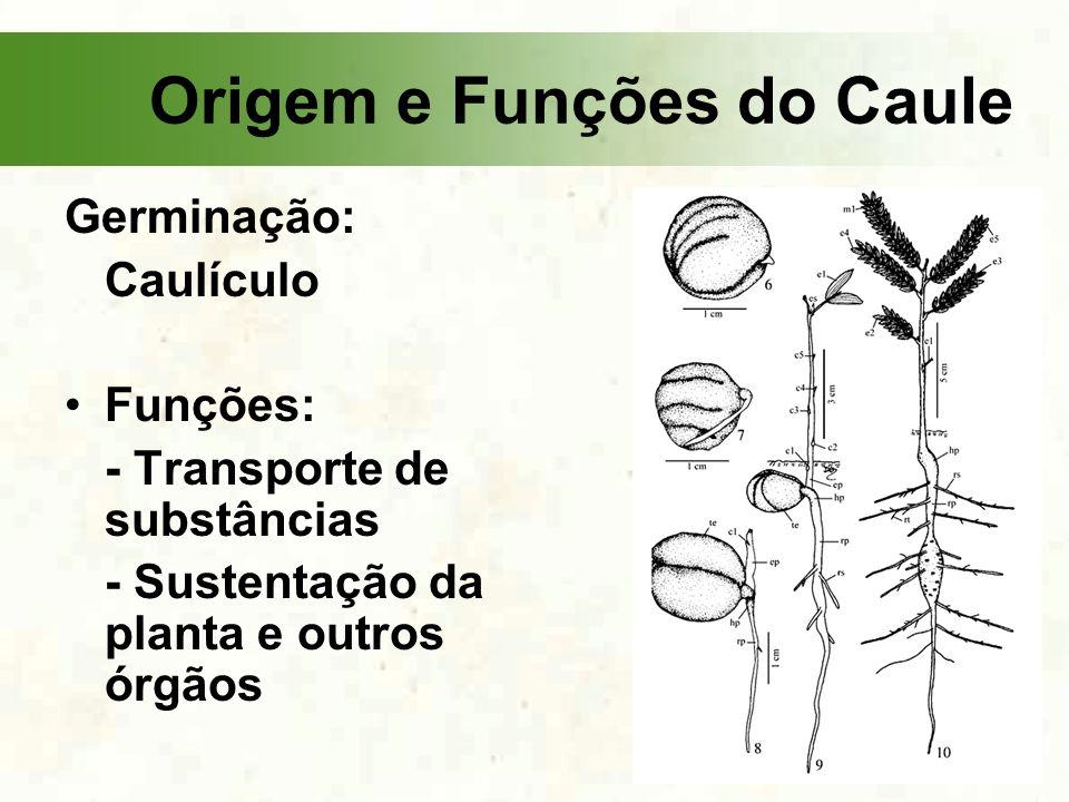 Origem e Funções do Caule