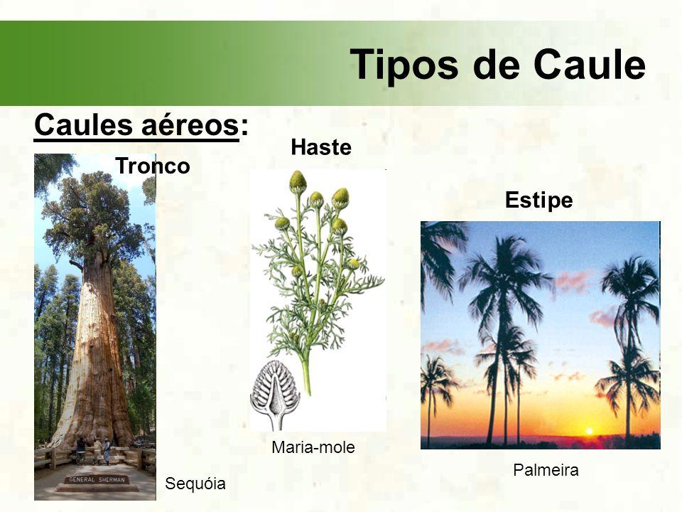 Tipos de Caule Caules aéreos: Haste Tronco Estipe Maria-mole Palmeira