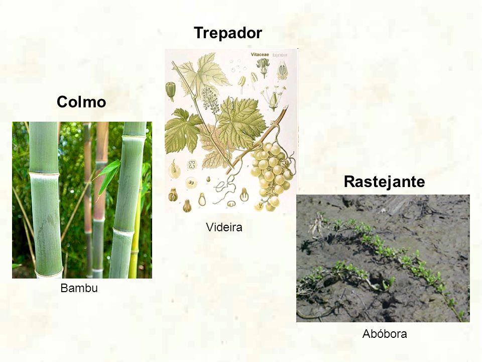 Trepador Colmo Rastejante Videira Bambu Abóbora